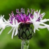 Purple Heart - Centaurea