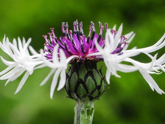 Purple Heart - Centaurea