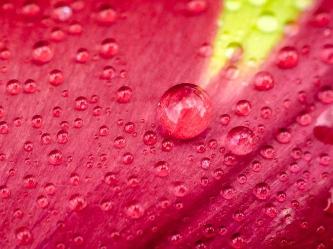 Gouttes de rosée sur tulipe