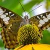 Papillon Clipper