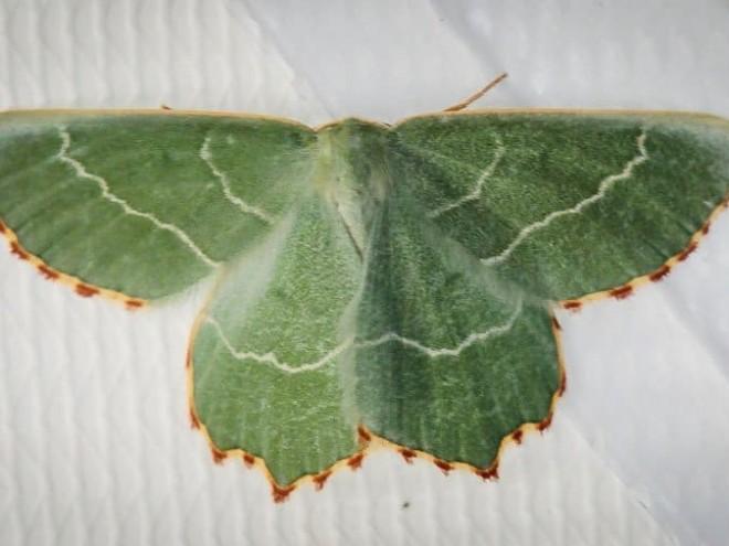 Thalera fimbrialis - La Phalène du Buplèvre