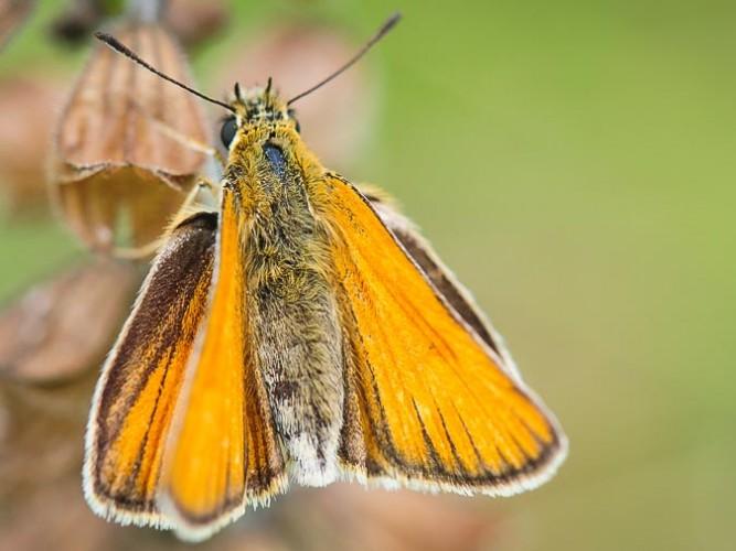 Thymelicus lineola ou Hespérie du dactyle