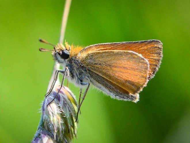 Thymelicus lineola - Hespérie du dactyle
