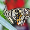 Voilier échiquier - Papilio Demoleus