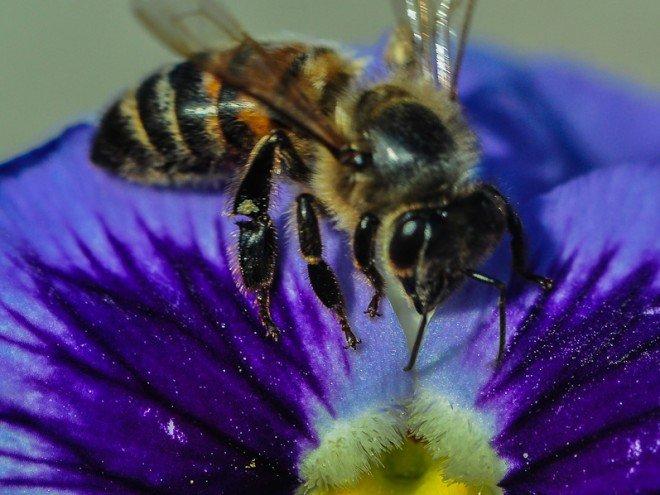 Abeille noire - abeille ouvrière