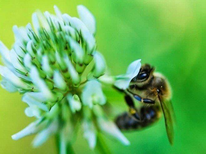 Abeille noire « Apis mellifera » butinant fleur de trèfle
