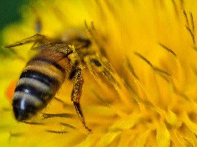 Abeille-pissenlit - Apis mellifera ligustica