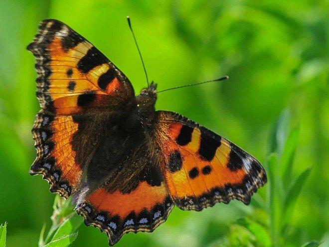 Aglais urticae, petite tortue (papillon)