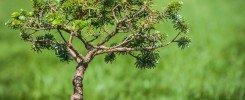 Un des bonsaï de Gilles Favarel