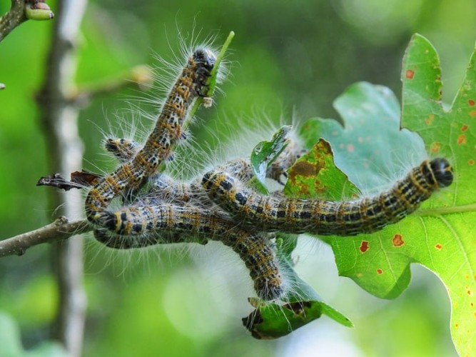 Chenilles de la Bucéphale, Phalera bucephala