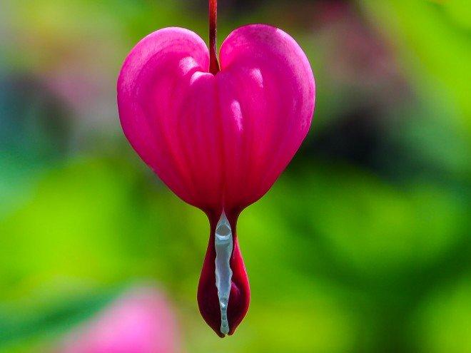 Coeur de Marie ou Cœur-Saignant - Dicentra spectabilis
