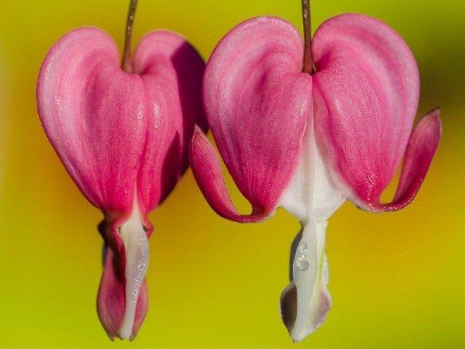 Coeur Saignant, Dicentra spectabilis