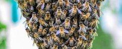 Essaimage d'abeilles