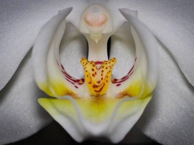 Fleur d'Orchidée vue de près