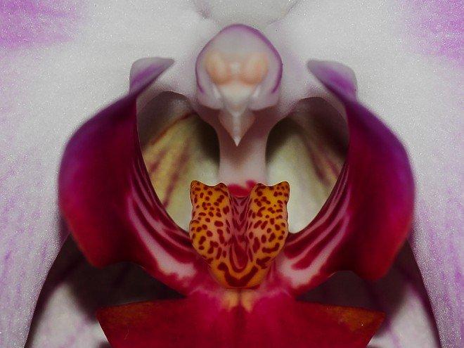 Coeur d'Orchidée - Orchidaceae