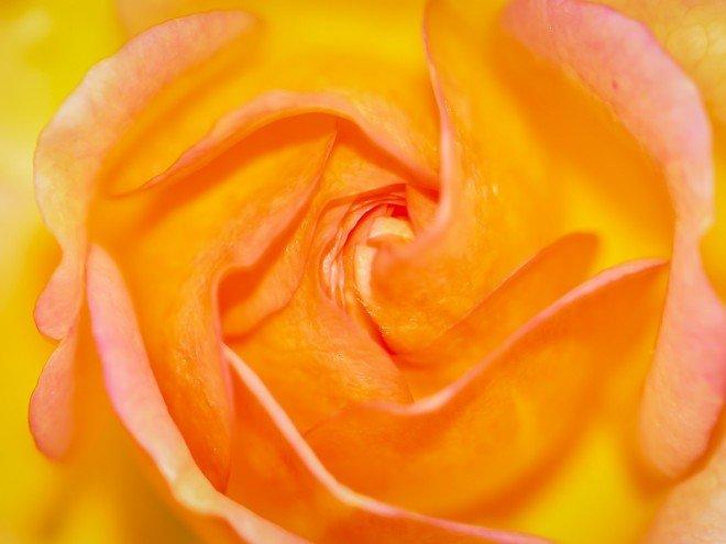 La Rose orangée - Rosa