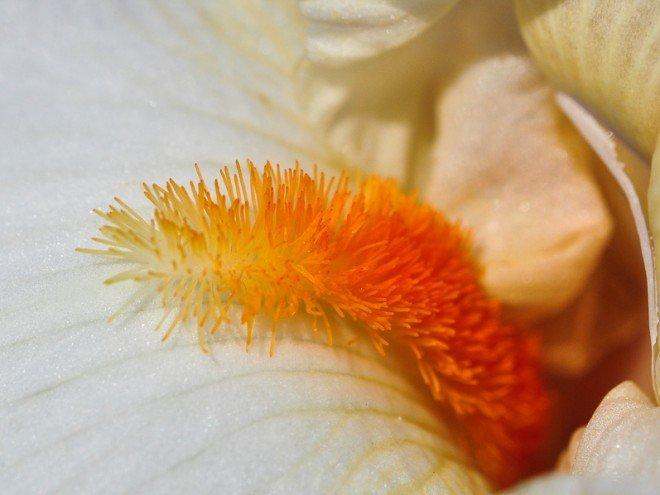 Iris germanica - Iris de Florence