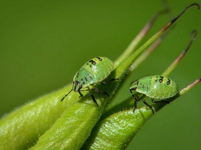 larves Palomena prasina
