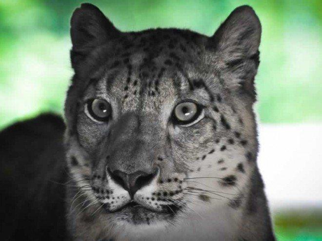 Panthère des neiges - Léopard des neiges - Photo nature