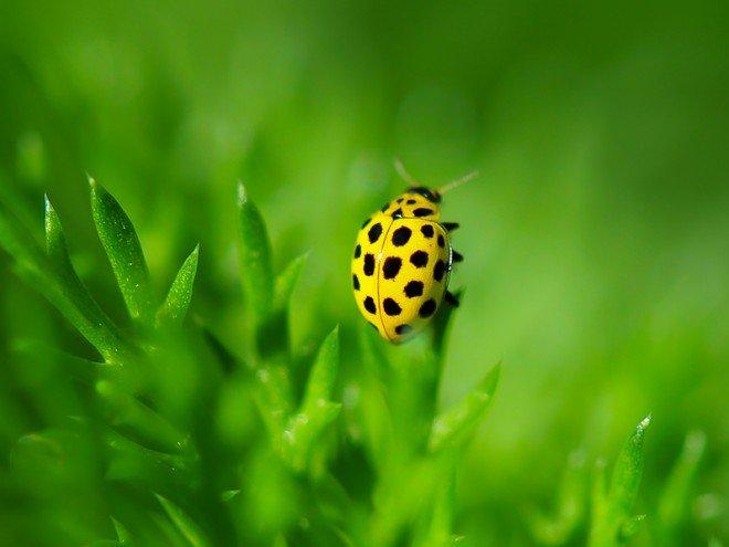 Coccinelle jaune - Psyllobora vigintiduopunctata