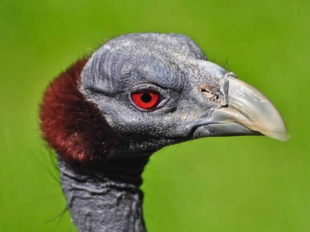 Pintade vulturine - Acryllium vulturinum