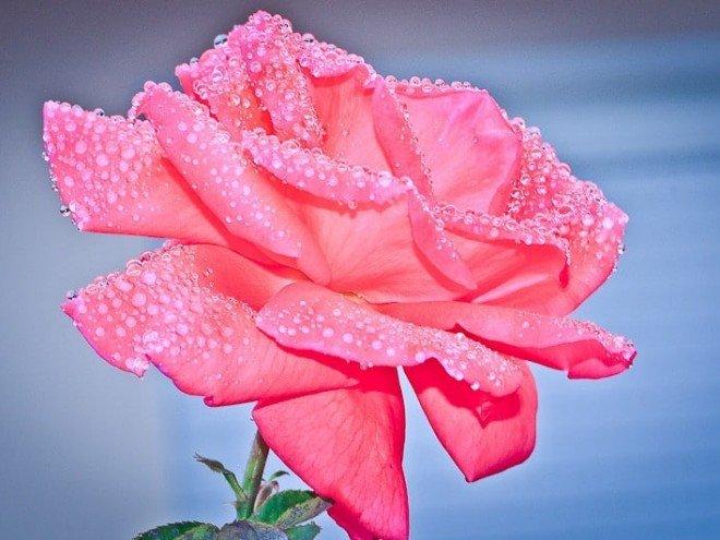 La rose et les perles de rosée