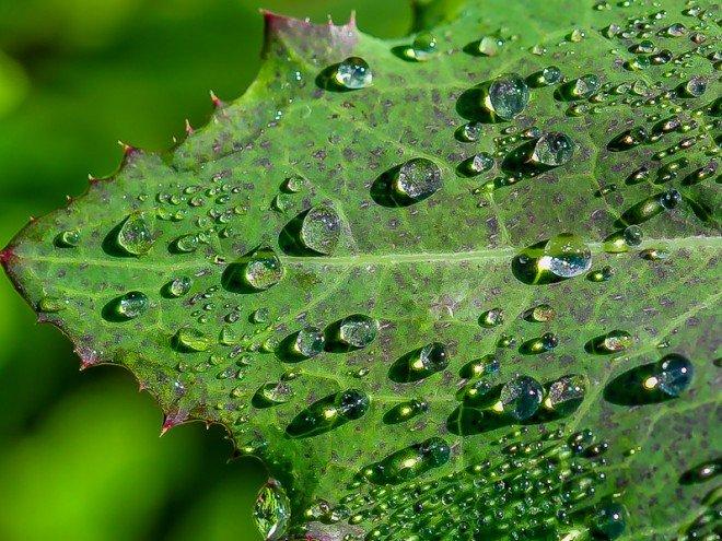 Gouttes de pluie sur feuille de pissenlit