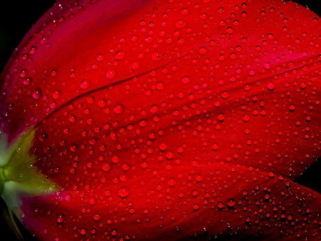 Gouttes de pluie sur pétales de tulipe