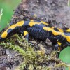 La salamandre tachetée (Salamandra salamandra)