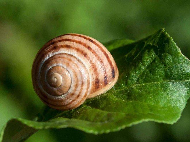Escargot des bois - Cepaea nemoralis