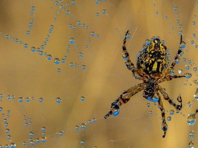 araignée Epeire diadème - Araneus diadematus