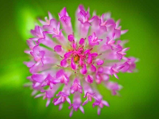 Fleur de trèfle des prés