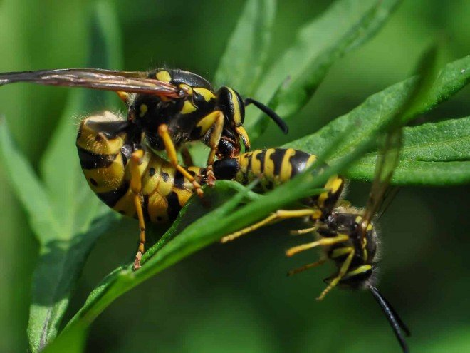 Couple de guêpes communes - Vespula vulgaris
