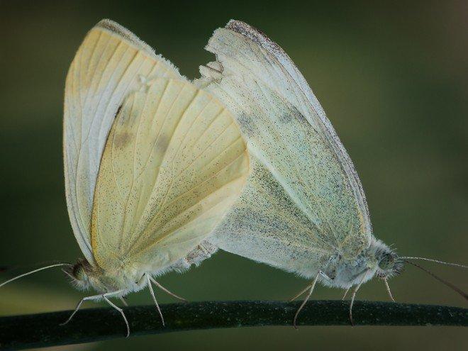 Piérides du chou - Pieris brassicae