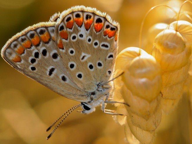 Azuré de la Bugrane - Polyommatus icarus